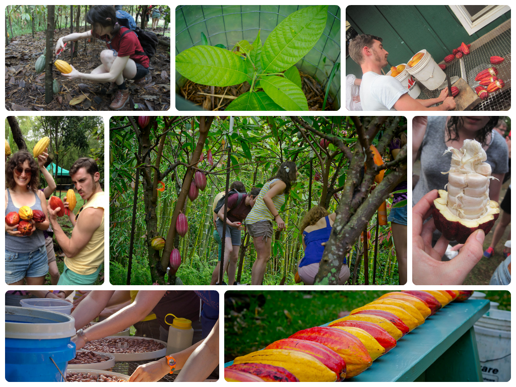 Exploring Cacao at Steelgrass Farms