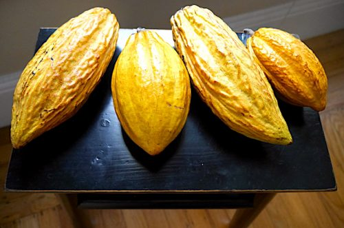 Four yellow fresh cacao pods